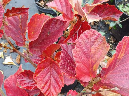 Fothergilla 'Red Licorice'