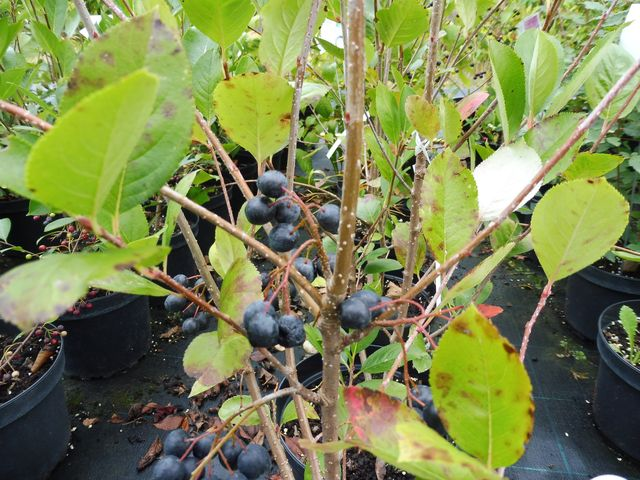 Buy fruit trees and berries online